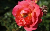 Bumble Bee in a Rose