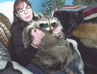 75 pounds Racoon