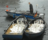 Boats Full Of Swans