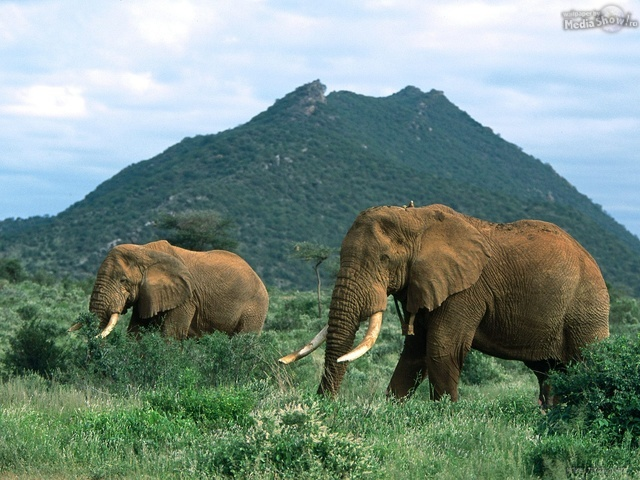 African Elephants, Africa