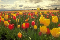 Filed of Tulips