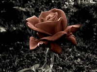 Red Rose in Black&White