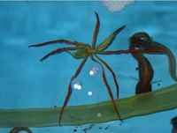 Giant Sea Spider (Colossendeis)