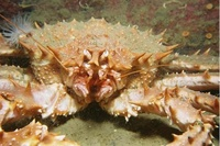 King Crab (Lithodes maja)