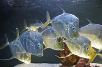 silver-flat-fishes