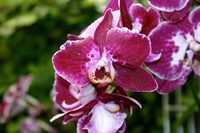 Orchid 22