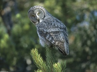 A New Perspective, Great Grey Owl, Wyoming