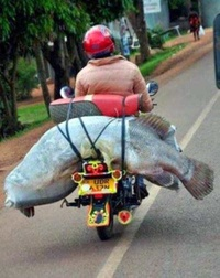 Giant Fish on a Motorcycle