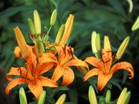 Trio of Hybrid Daylilies