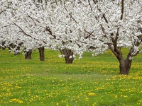 Blossoming Fruit Trees