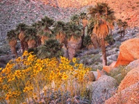 California Fan Palms and Brittlebush at Sunrise