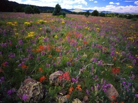 Field of Locoweed Paintbrush and Gold Flower