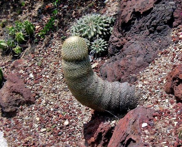 dick shaped cactus